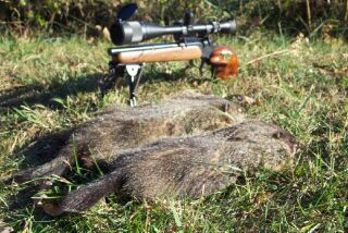 Two fat Woodchucks fall to the Bellm 22mag.